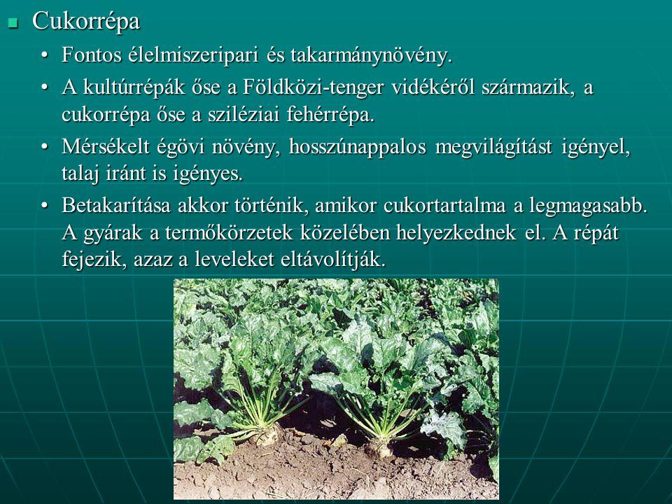 Cukorrépa Cukorrépa Fontos élelmiszeripari és takarmánynövény.Fontos élelmiszeripari és takarmánynövény.