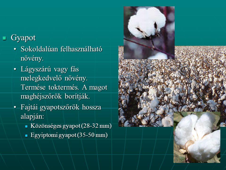 Gyapot Gyapot Sokoldalúan felhasználható növény.Sokoldalúan felhasználható növény.