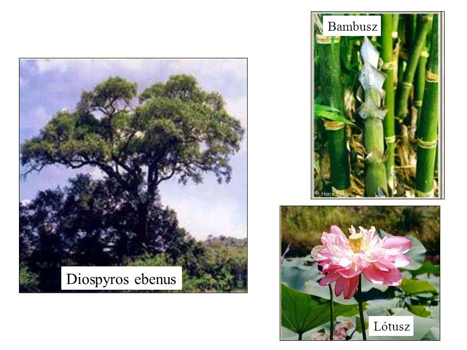 Diospyros ebenus Bambusz Lótusz