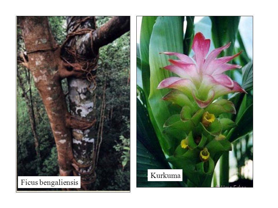 Ficus bengaliensis Kurkuma