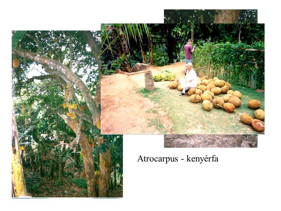 Atrocarpus - kenyérfa