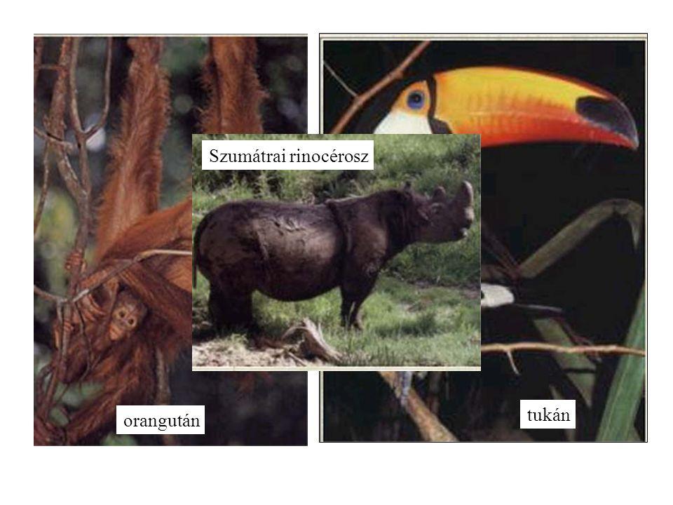 orangután tukán Szumátrai rinocérosz