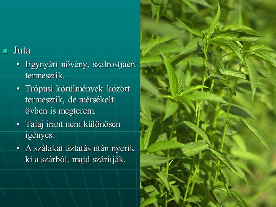 Juta Juta Egynyári növény, szálrostjáért termesztik.Egynyári növény, szálrostjáért termesztik. Trópusi körülmények között termesztik, de mérsékelt övb