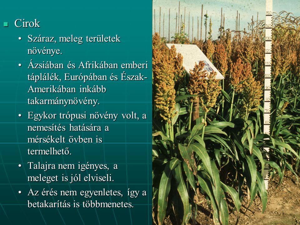 Cirok Cirok Száraz, meleg területek növénye.Száraz, meleg területek növénye. Ázsiában és Afrikában emberi táplálék, Európában és Észak- Amerikában ink