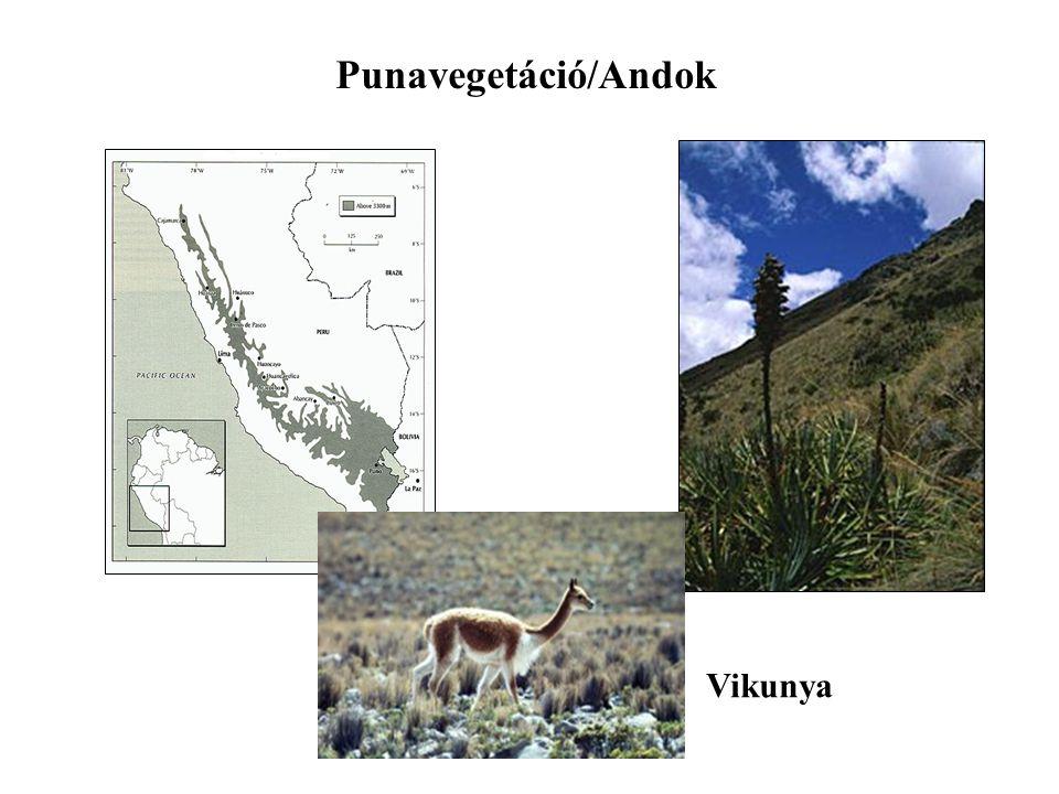 Punavegetáció/Andok Vikunya