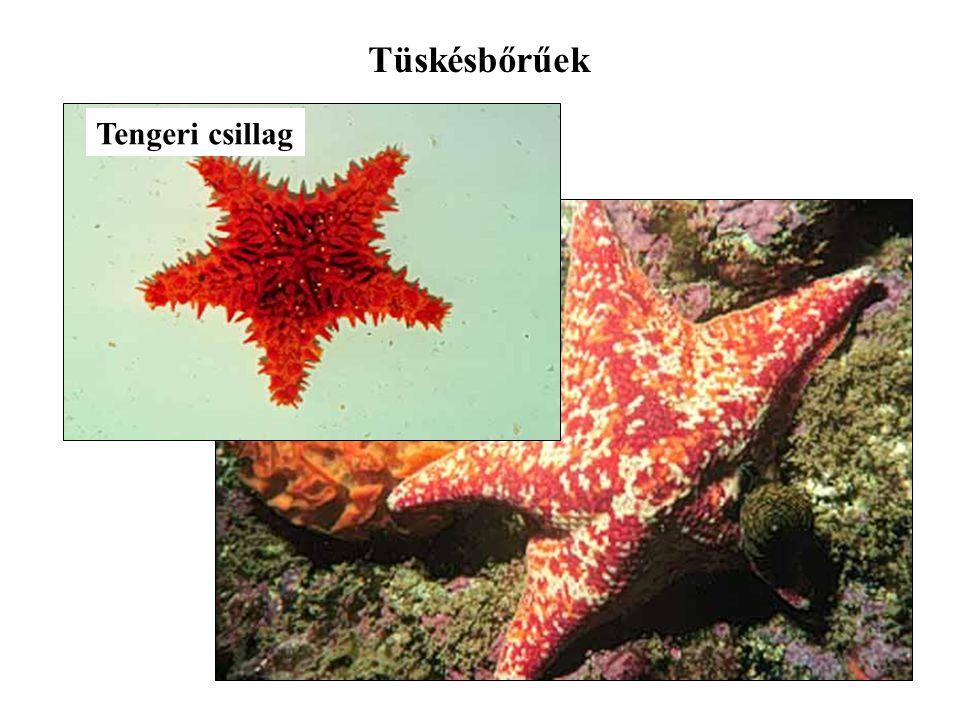 Tüskésbőrűek Tengeri csillag