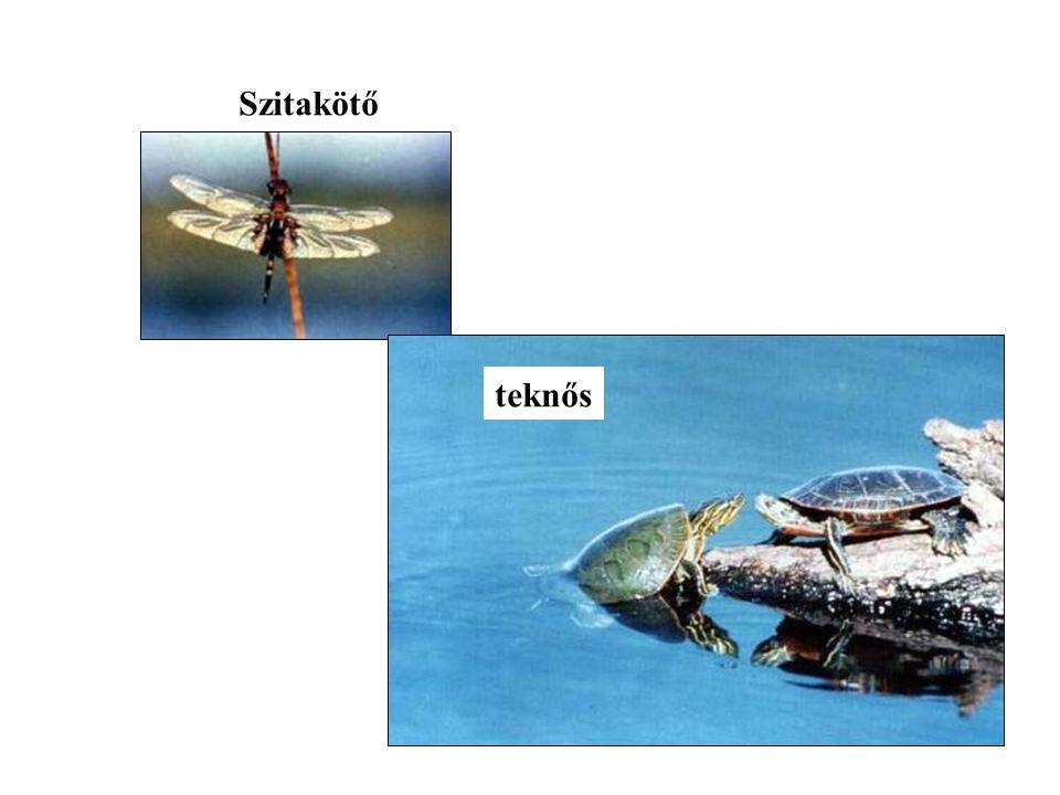 Szitakötő teknős