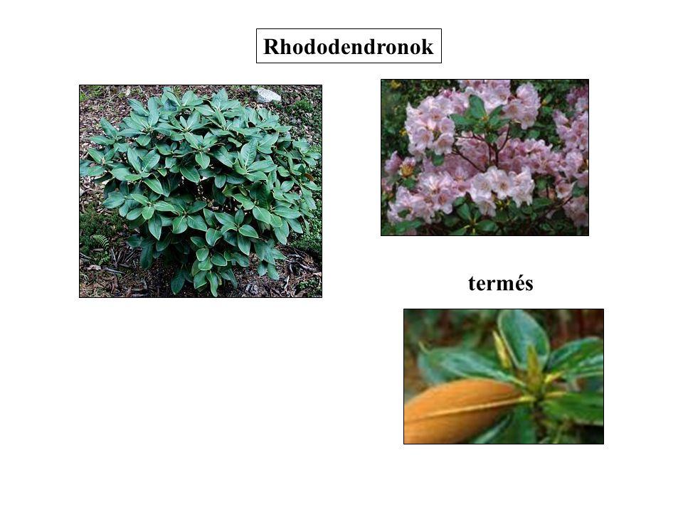 Rhododendronok termés