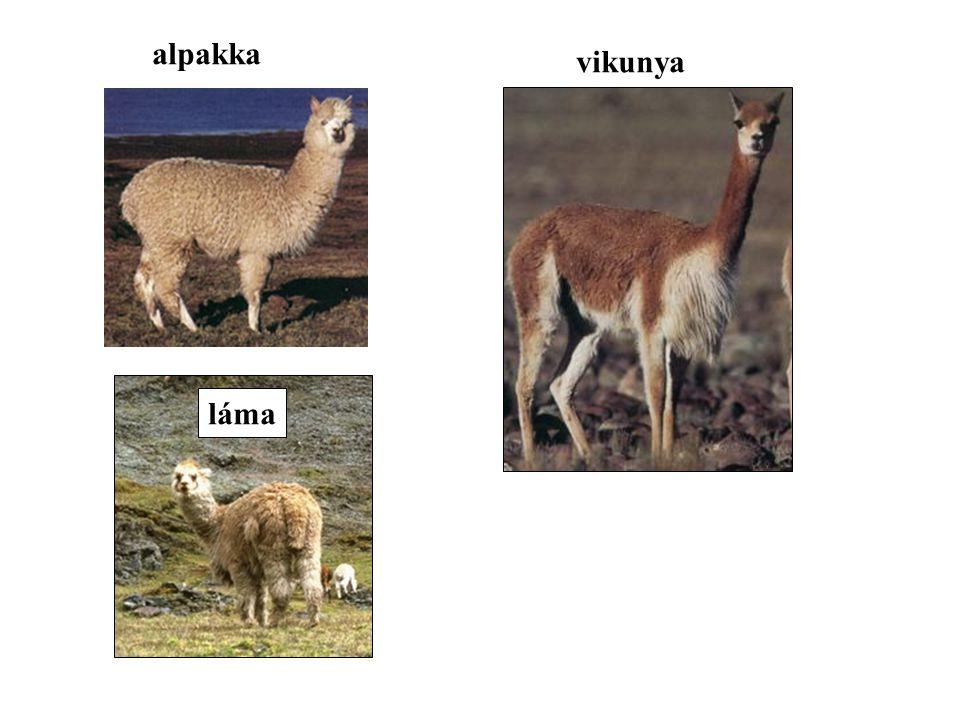 alpakka vikunya láma