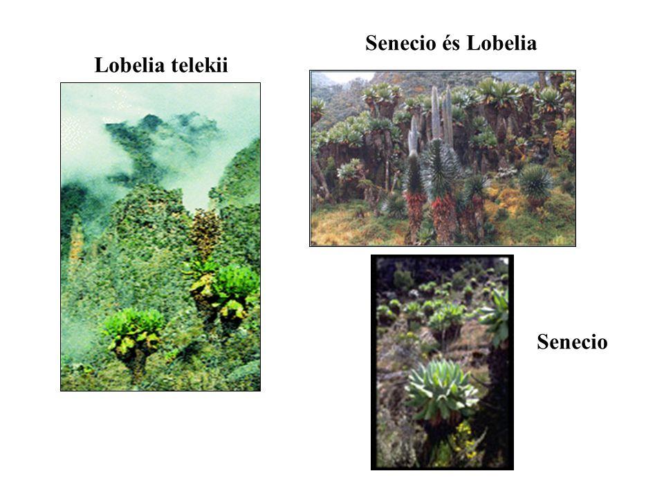 Lobelia telekii Senecio és Lobelia Senecio