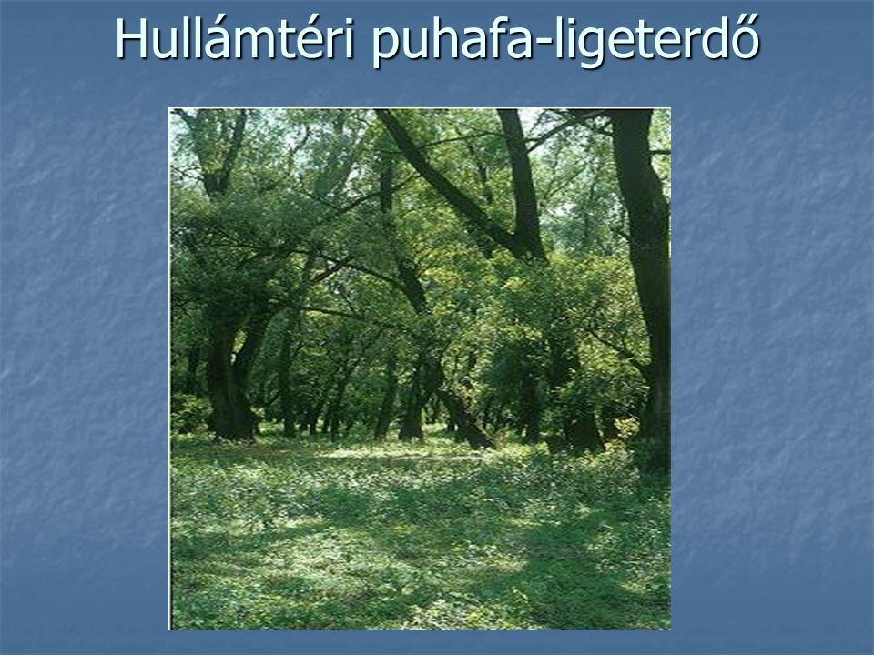 Hullámtéri puhafa-ligeterdő