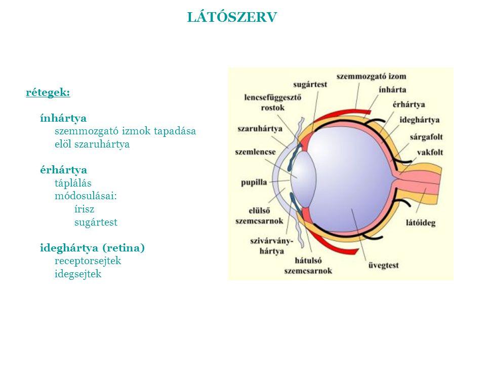 LÁTÓSZERV rétegek: ínhártya szemmozgató izmok tapadása elöl szaruhártya érhártya táplálás módosulásai: írisz sugártest ideghártya (retina) receptorsej