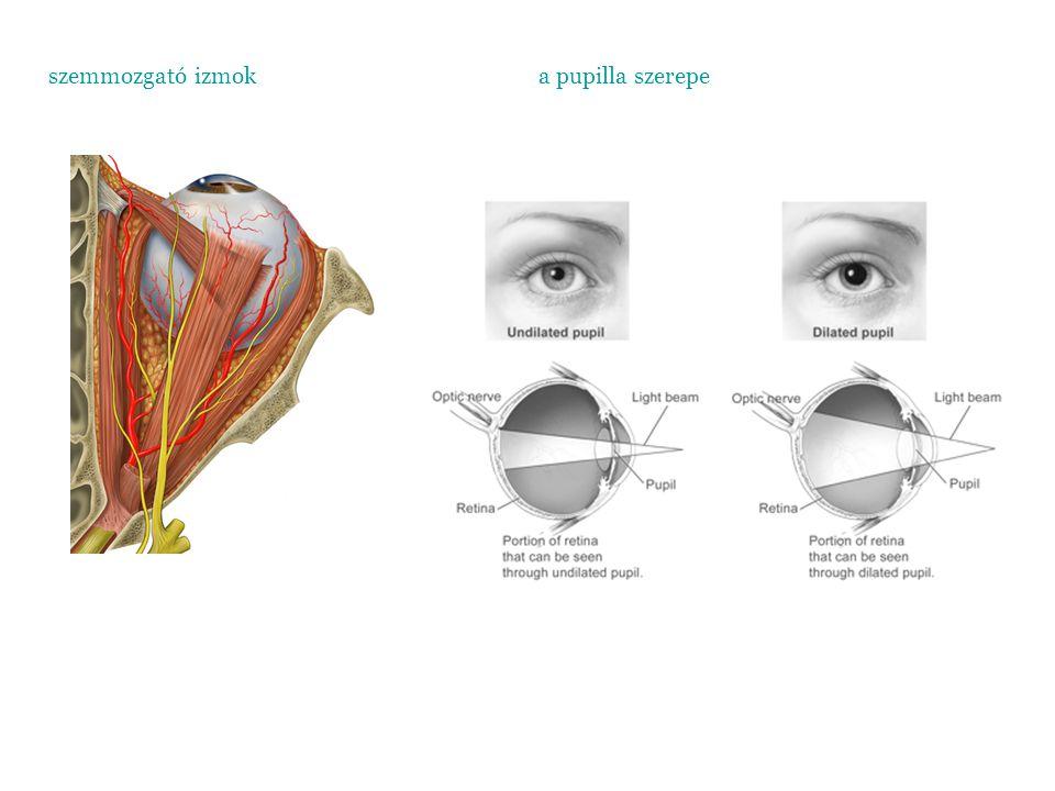 szemmozgató izmoka pupilla szerepe