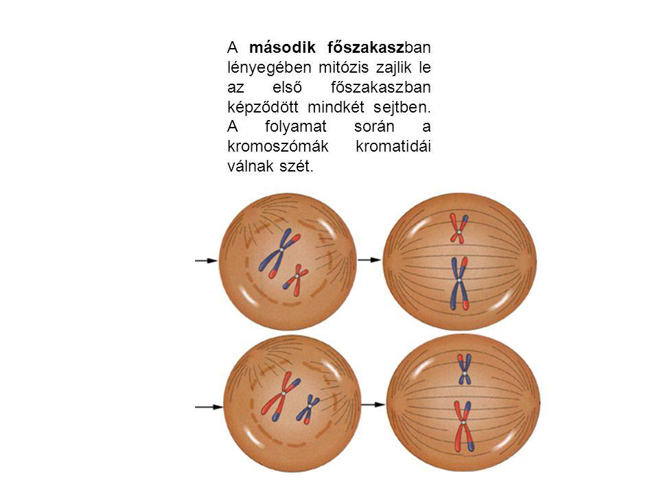 A második főszakaszban lényegében mitózis zajlik le az első főszakaszban képződött mindkét sejtben. A folyamat során a kromoszómák kromatidái válnak s