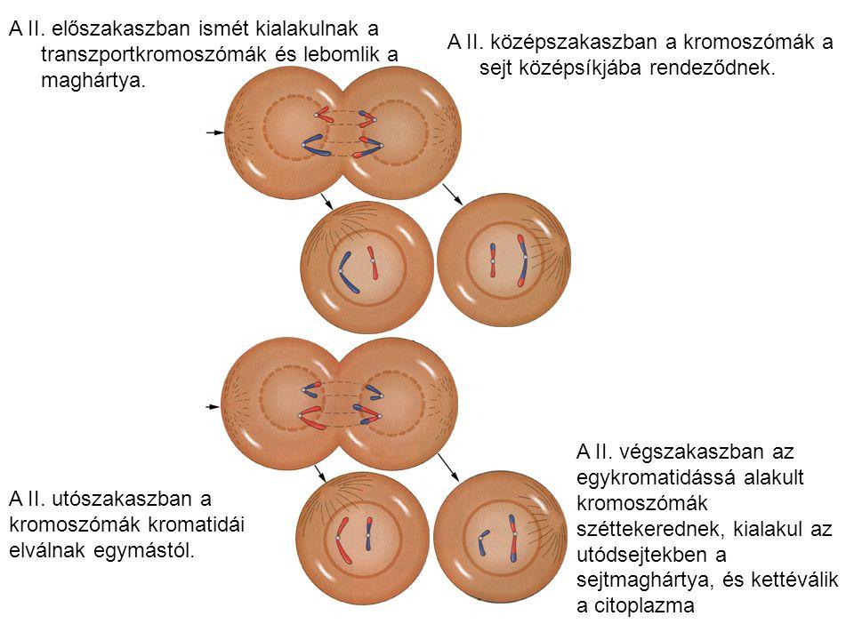 A II. utószakaszban a kromoszómák kromatidái elválnak egymástól. A II. előszakaszban ismét kialakulnak a transzportkromoszómák és lebomlik a maghártya