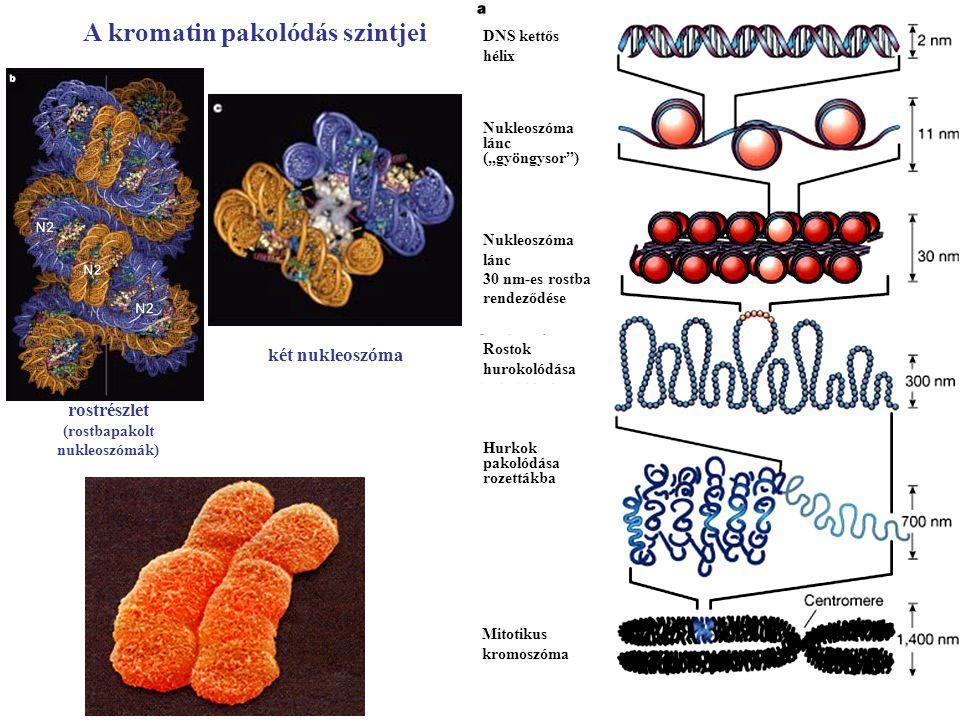 """A kromatin pakolódás szintjei DNS kettős hélix Nukleoszóma lánc (""""gyöngysor"""") Nukleoszóma lánc 30 nm-es rostba rendeződése Rostok hurokolódása Hurkok"""