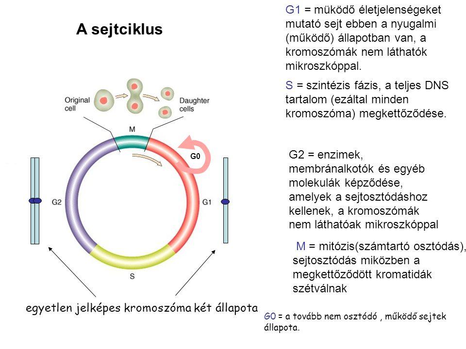 A sejtciklus G0 = a tovább nem osztódó, működő sejtek állapota.. egyetlen jelképes kromoszóma két állapota G0 G1 = müködő életjelenségeket mutató sejt