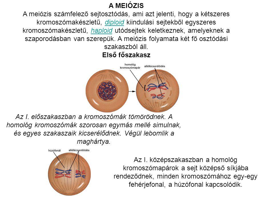 A MEIÓZIS A meiózis számfelező sejtosztódás, ami azt jelenti, hogy a kétszeres kromoszómakészletű, diploid kiindulási sejtekből egyszeres kromoszómaké