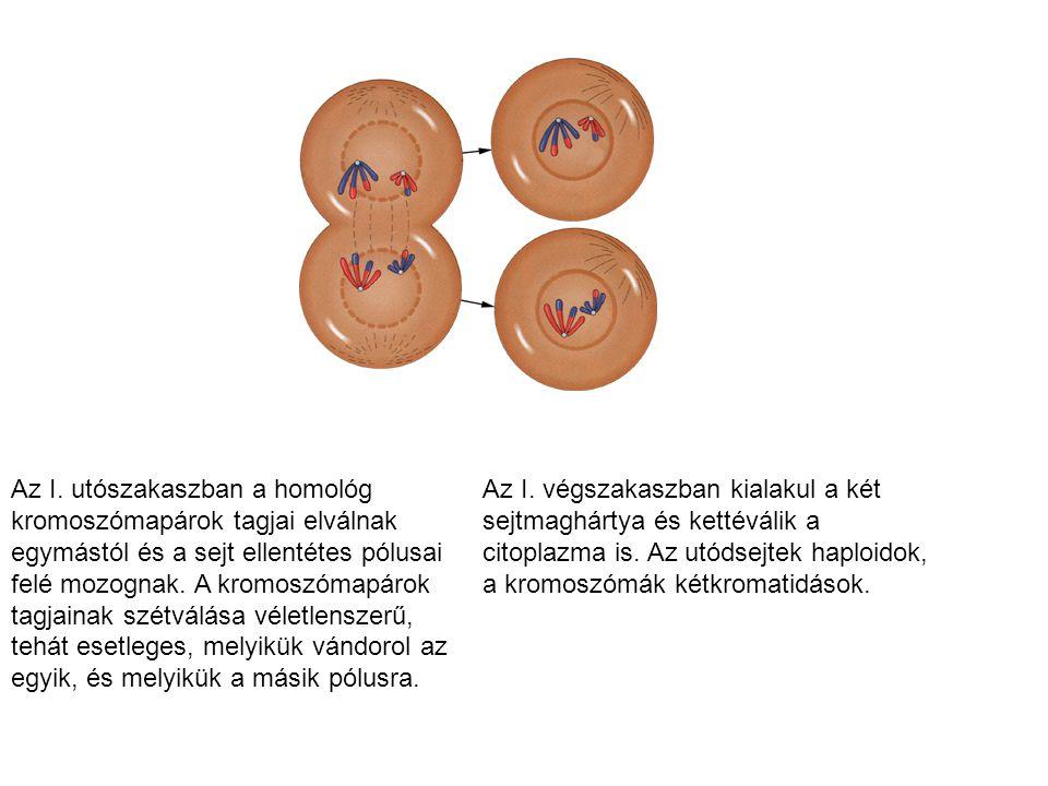 Az I. utószakaszban a homológ kromoszómapárok tagjai elválnak egymástól és a sejt ellentétes pólusai felé mozognak. A kromoszómapárok tagjainak szétvá