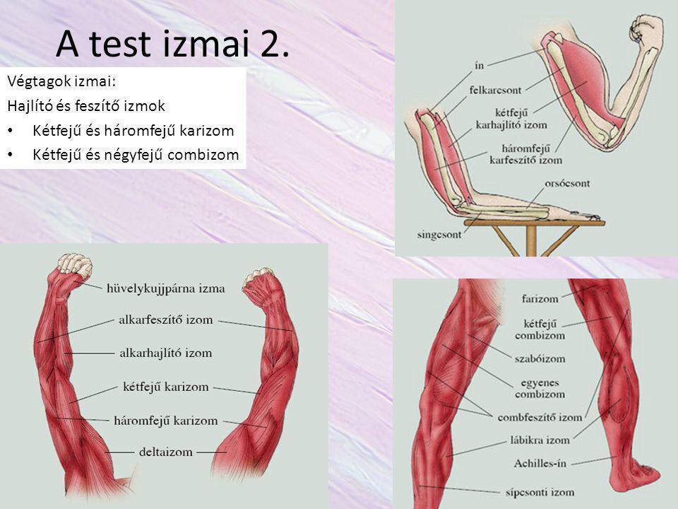 A test izmai 2. Végtagok izmai: Hajlító és feszítő izmok Kétfejű és háromfejű karizom Kétfejű és négyfejű combizom