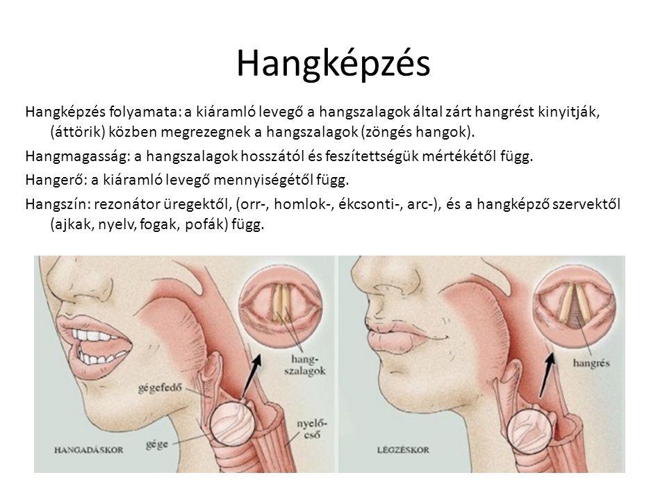 Hangképzés Hangképzés folyamata: a kiáramló levegő a hangszalagok által zárt hangrést kinyitják, (áttörik) közben megrezegnek a hangszalagok (zöngés h