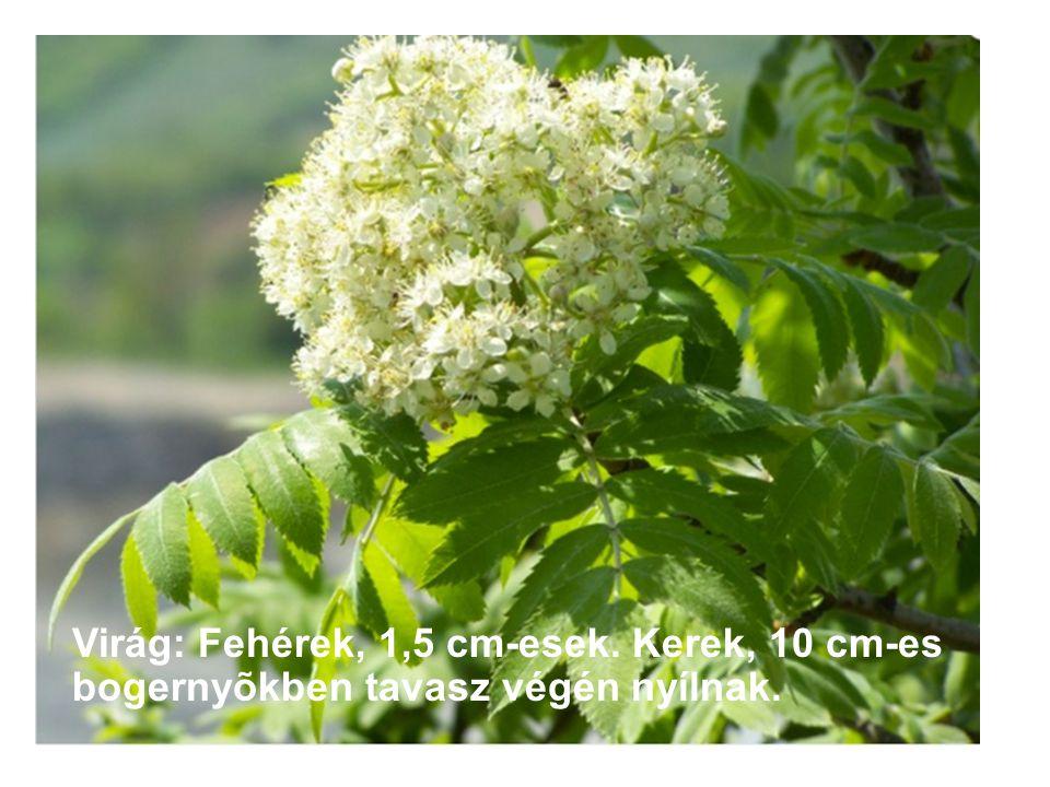 Virág: Fehérek, 1,5 cm-esek. Kerek, 10 cm-es bogernyõkben tavasz végén nyílnak.