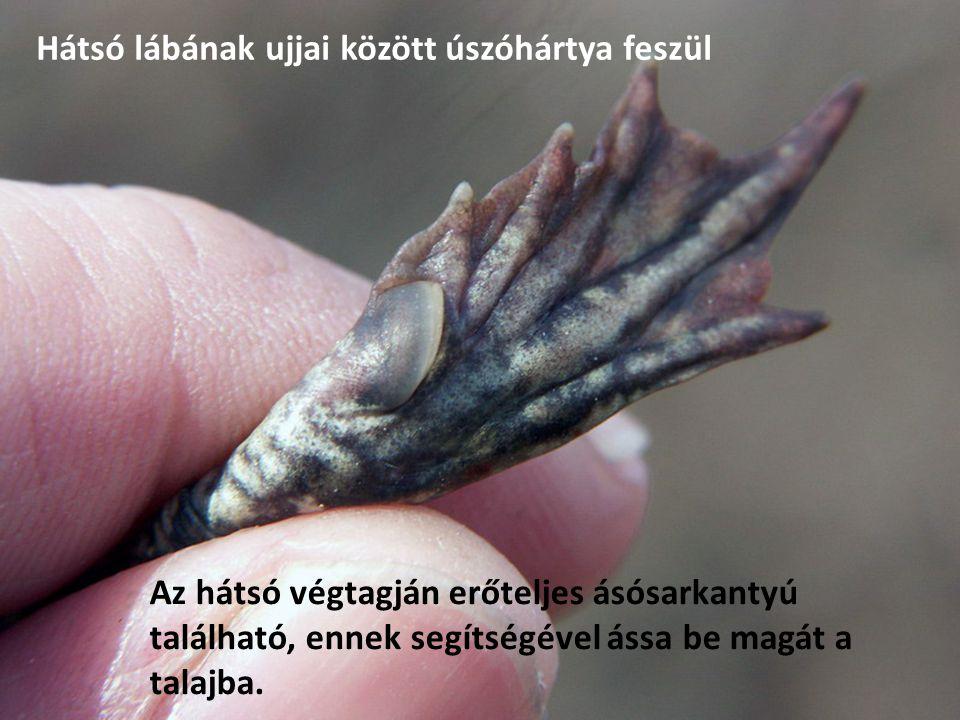 Az hátsó végtagján erőteljes ásósarkantyú található, ennek segítségével ássa be magát a talajba. Hátsó lábának ujjai között úszóhártya feszül