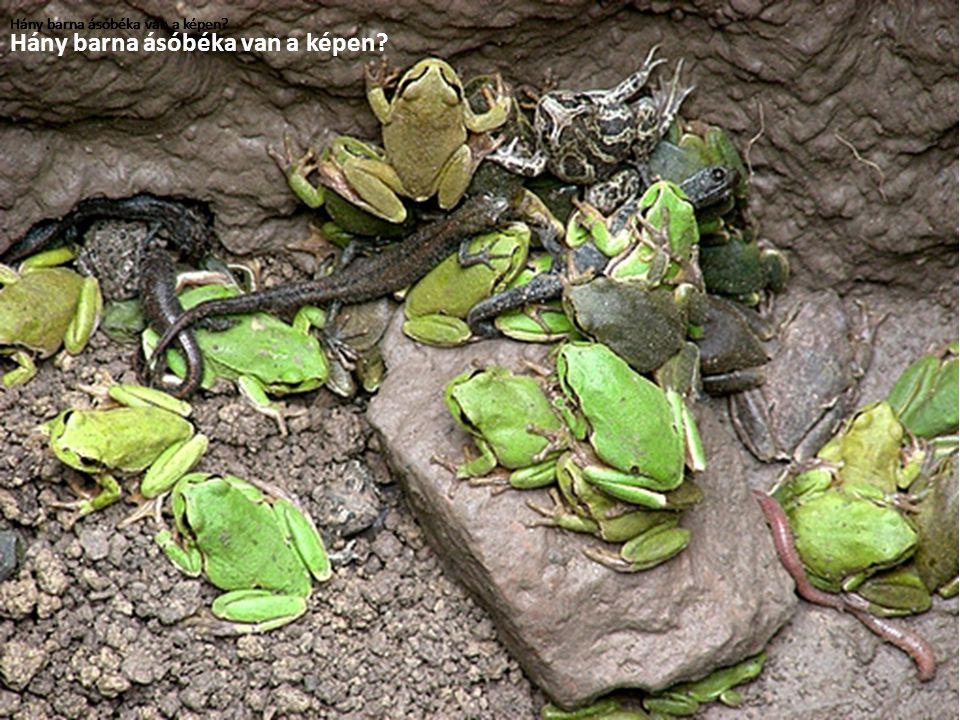 Hány barna ásóbéka van a képen?