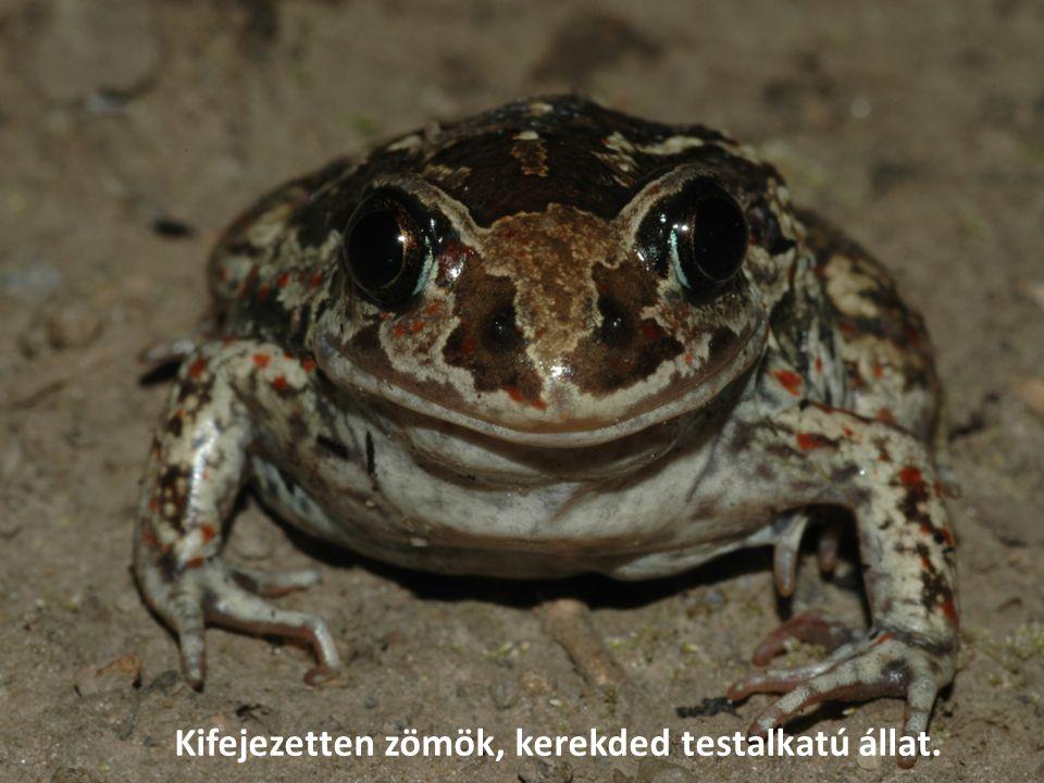 Magyarországon a többi kétéltű és hüllőfajhoz hasonlóan védett, természetvédelmi értéke 10 000 Ft.