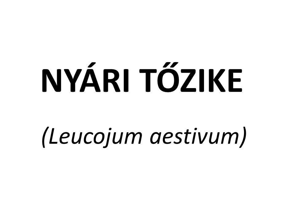 NYÁRI TŐZIKE (Leucojum aestivum)
