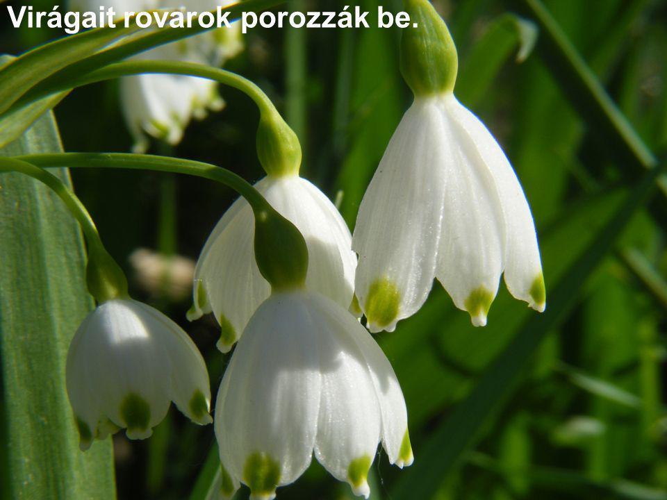 Virágait rovarok porozzák be.