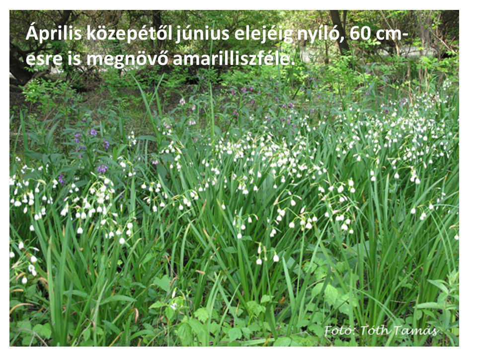 Április közepétől június elejéig nyíló, 60 cm- esre is megnövő amarilliszféle.
