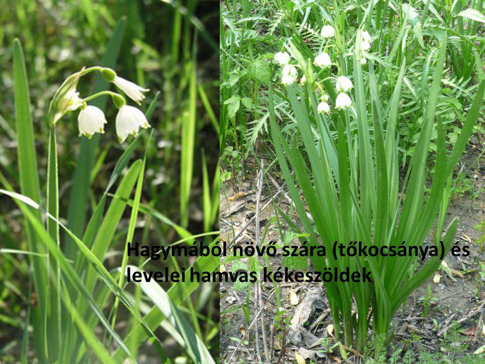 Hagymából növő szára (tőkocsánya) és levelei hamvas kékeszöldek,