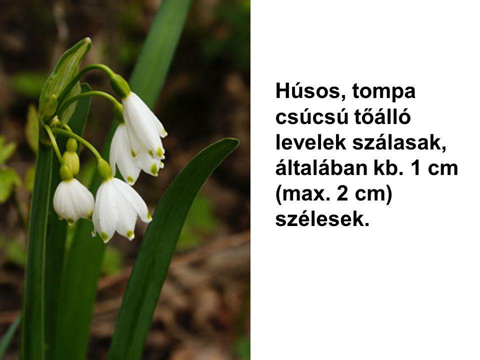 Húsos, tompa csúcsú tőálló levelek szálasak, általában kb. 1 cm (max. 2 cm) szélesek.