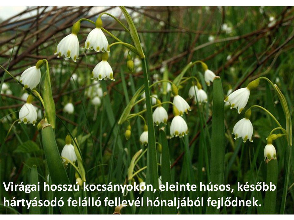Virágai hosszú kocsányokon, eleinte húsos, később hártyásodó felálló fellevél hónaljából fejlődnek.