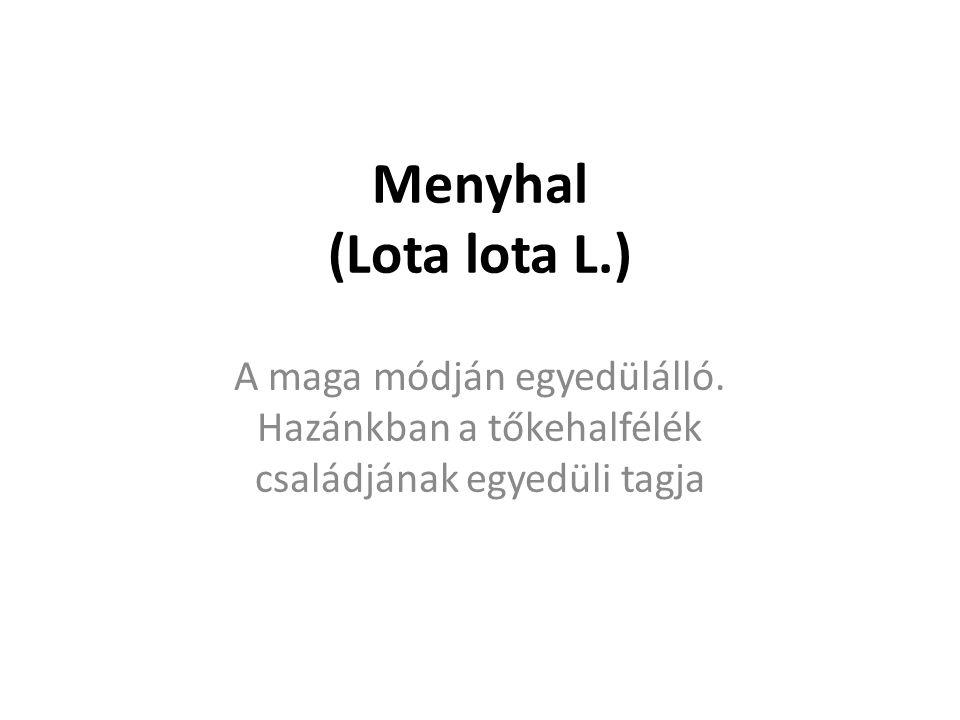Menyhal (Lota lota L.) A maga módján egyedülálló. Hazánkban a tőkehalfélék családjának egyedüli tagja