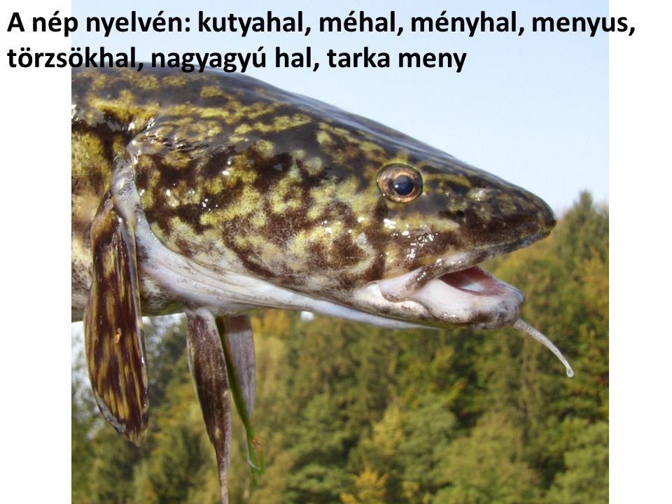 A nép nyelvén: kutyahal, méhal, ményhal, menyus, törzsökhal, nagyagyú hal, tarka meny