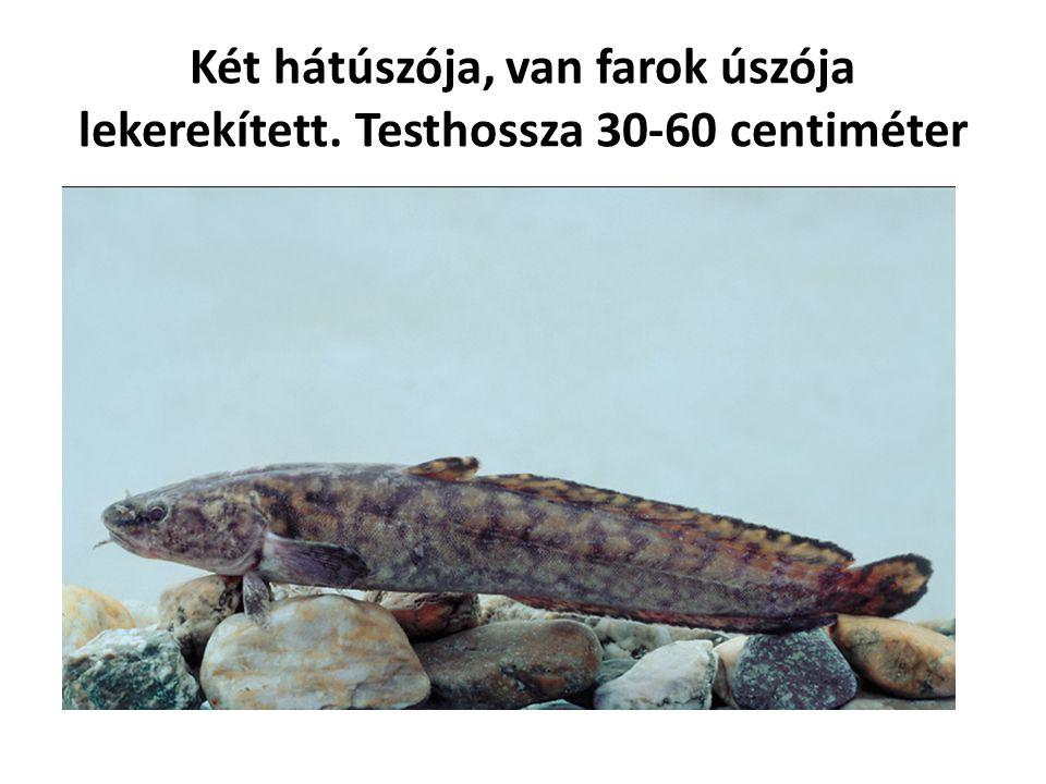Két hátúszója, van farok úszója lekerekített. Testhossza 30-60 centiméter
