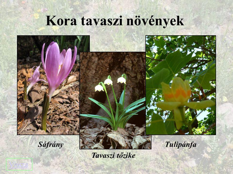Kora tavaszi növények Sáfrány Tavaszi tőzike Tulipánfa Vissza