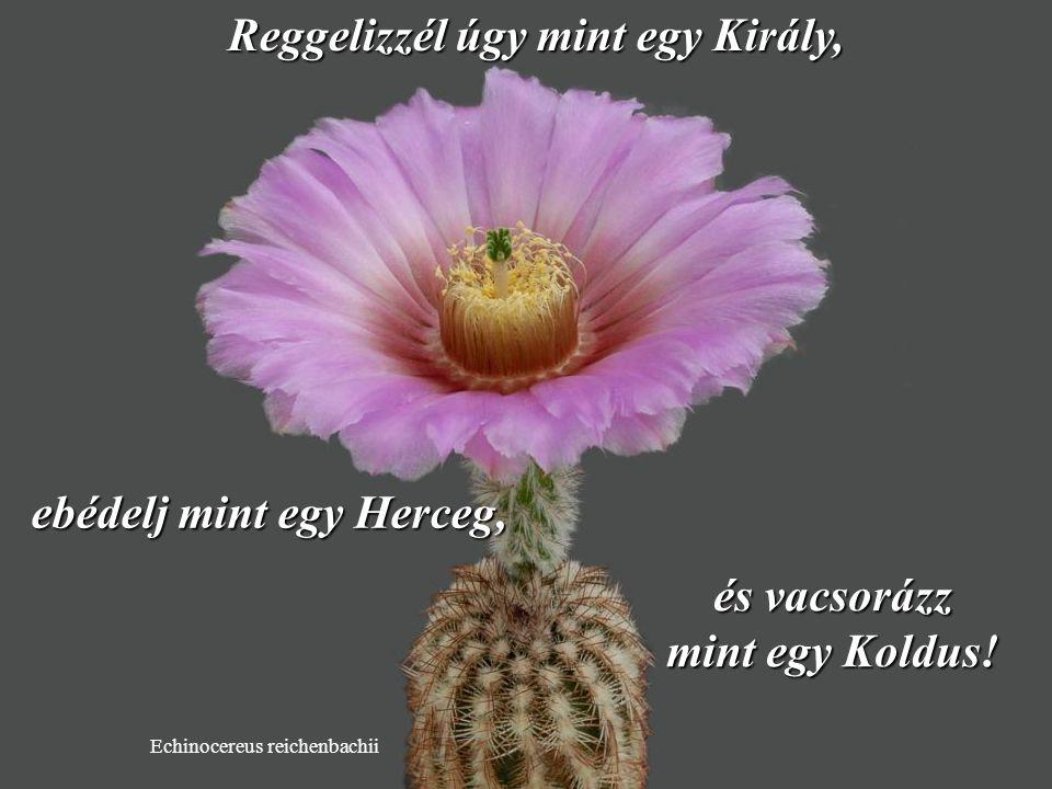 Discocactus horstii Étkezz egészségesen. Fogyassz több zöldségfélét és gyümölcsöt…