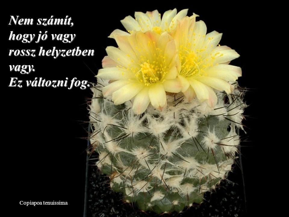 Mammillaria slevinii Ne törődj azzal, hogy mások mit gondolnak…