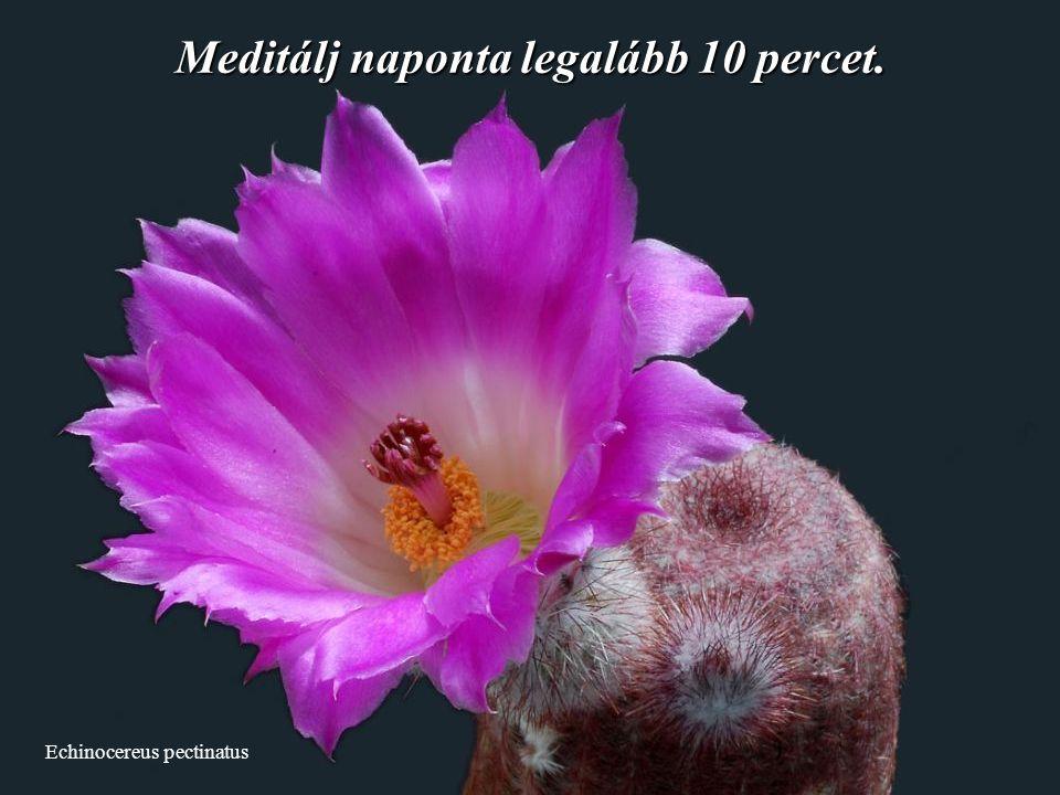 Echinocereus pectinatus Meditálj naponta legalább 10 percet.