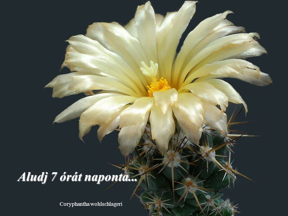 Escobaria wissmannii Próbálj minden nap három embert megmosolyogtatni….