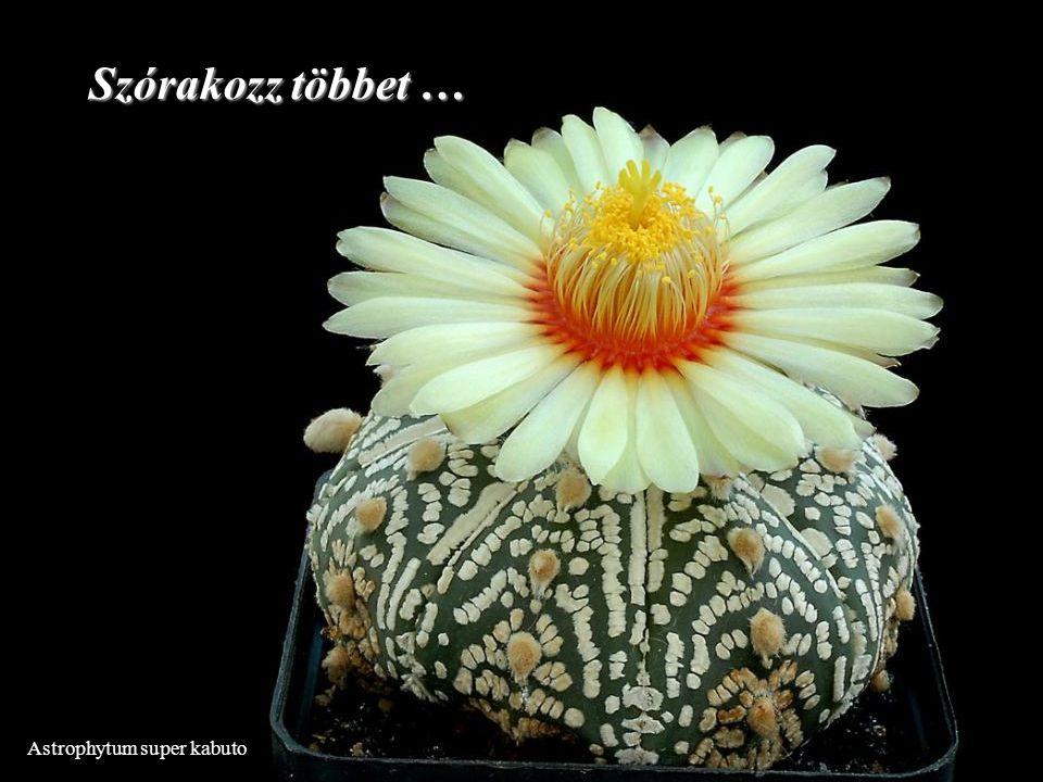 Astrophytum super kabuto Szórakozz többet …