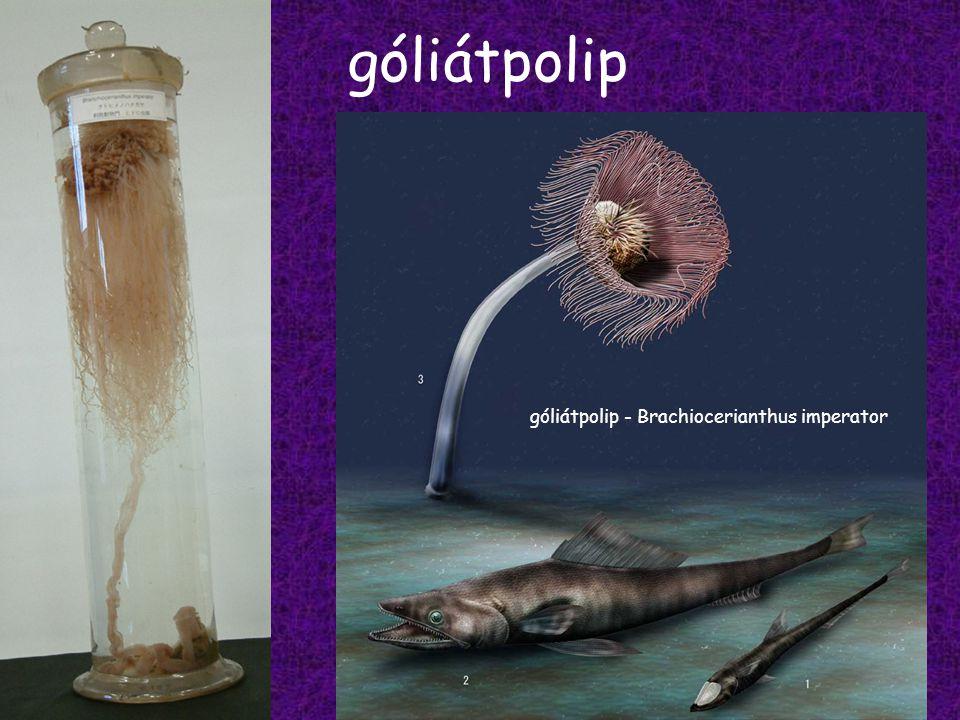 góliátpolip góliátpolip - Brachiocerianthus imperator