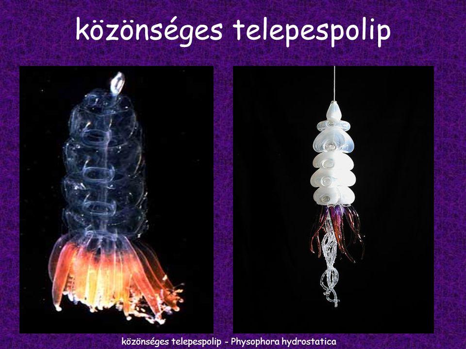 közönséges telepespolip közönséges telepespolip - Physophora hydrostatica