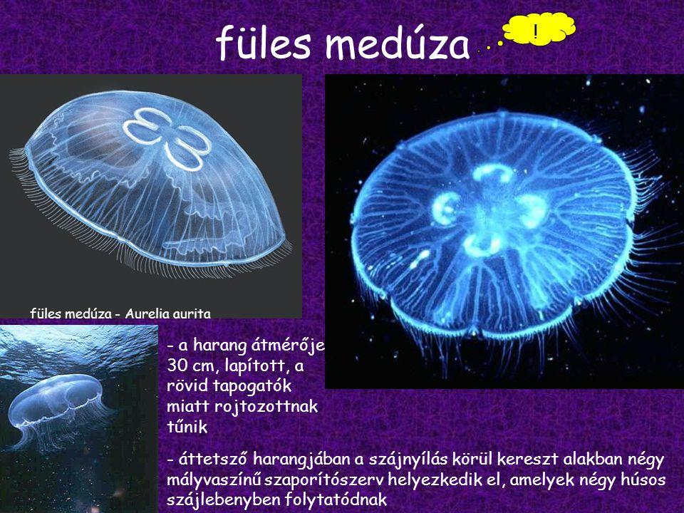 füles medúza .