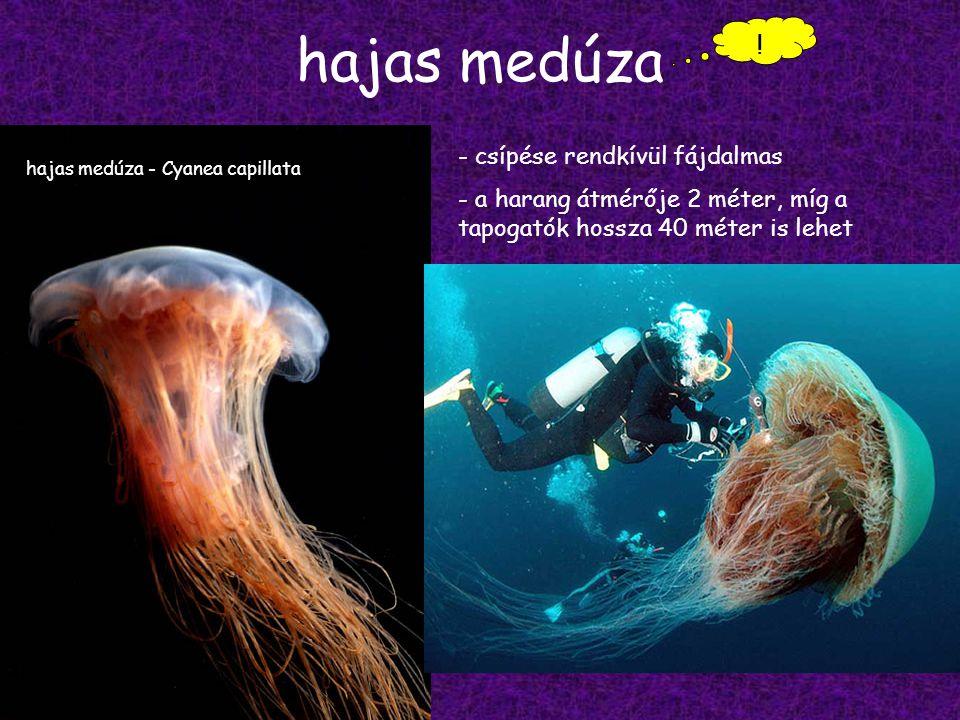 hajas medúza .