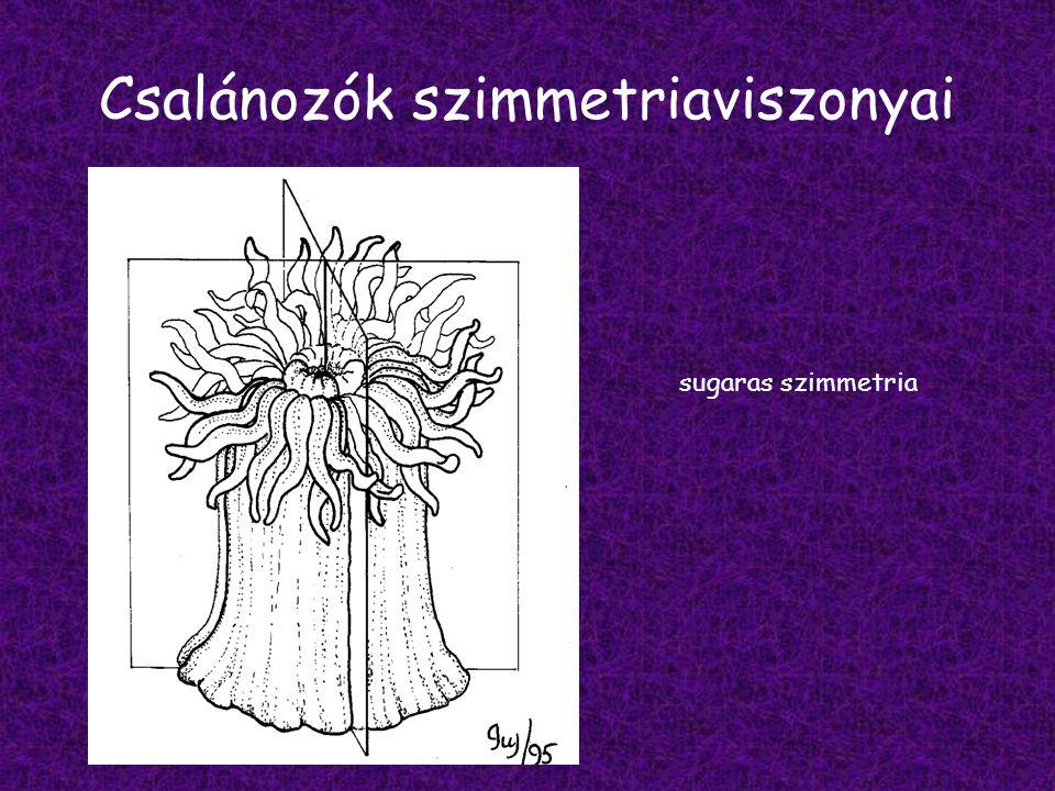 Testfelépítés ektoderma tapogatók szájnyílás/végbélnyílás támasztólemez endoderma bélüreg medúza alak polip alak váza alak