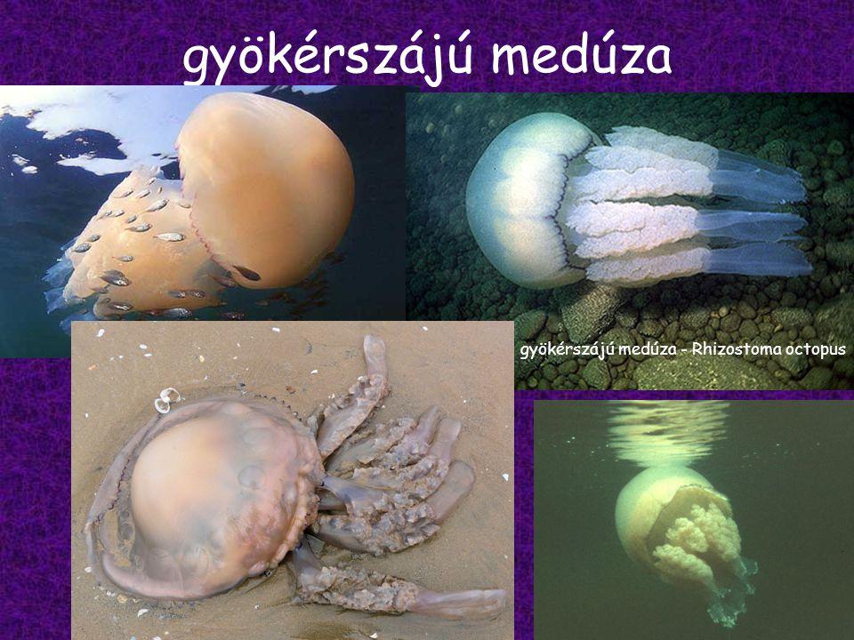 gyökérszájú medúza gyökérszájú medúza - Rhizostoma octopus